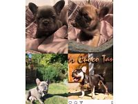 Quality litter of Pups for Sale Sired by Mr Choco Tan