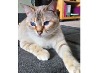 Missing / Stolen pet cat Halebank area