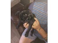 15 week old black Puppy