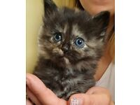 Ragdoll x Maine coon lovely and fluffy kittens looking for loving families