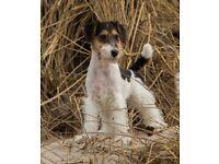 Wire Fox Terrier Pup