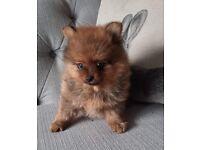 8 week old Pomeranian Boy