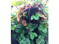 3 x trio pot stacking planters - black, including strawberries plants - bargain
