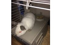 Albino rabbit for rehoming