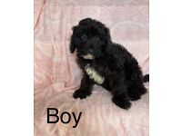 Shih Tzu X poodle puppies ready now