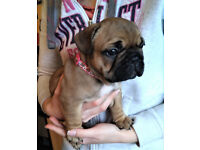 HIGH QUALITY FRENCH BULLDOG PUPS GIRLS - RED GENE!!!