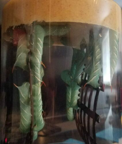 25 -30 Live Hornworms With 1 Inch Of Food