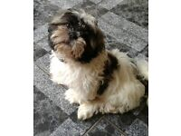 QUALITY KC REG SHIH TZU 1 GORGEOUS DOG AVAILABLE
