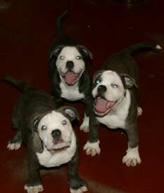 **Ready now**old english bulldogs nebbr registered