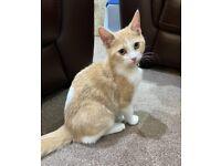 Ragdoll X Persian kitten for sale