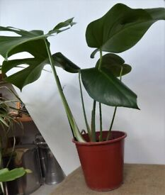 SWISS CHEESE PLANT – Monstera Deliciosa