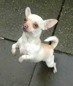 Lovely Show Quality female Chihuahua