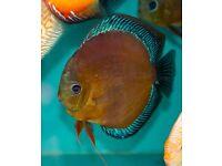 Discus Fish 3'' - San Merah, rare strain