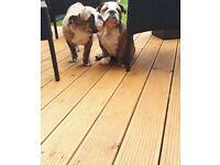 Pedigree English Bulldog Male Puppies For Sale
