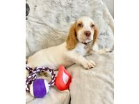 Cocker Spaniels Girl Fully vaccinated, Kc Registered Pra & Fn Clear