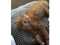 A Gorgeous Ginger Kitten For Sale