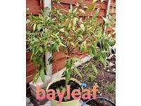 Bayleaf/ tess patta tree in large pot