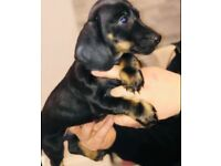 Miniature Daschund Girl black tan