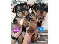 Yorkshire Terrier Pups **RESERVED**
