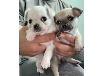 chihuahua puppies £1000 READY TODAY