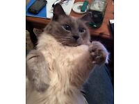 LOST SEAL POINT RAGDOLL CAT