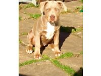 Extremely rare silver with tan Staffordshire bull terrier puppy