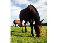 Horse Grazing ombersley