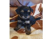 Two teddy bear faced yorkie puppy's looking for forever homes