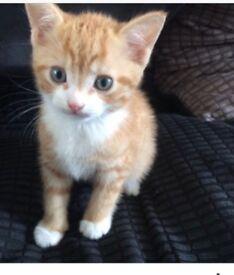 Ginger male kitten