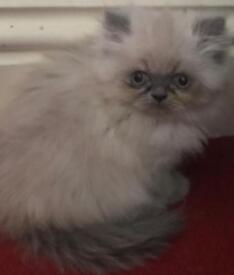 Persian female kitten ready now