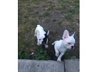Two amazing white pearl french bulldog puppies for sale 1 boy 1 girl frenchies