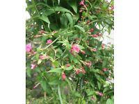 Various perennial plants, pink jasmine, pulmonaria, chinese lantern, penstemon maroon