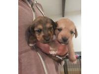 Adorable Jackapoo Puppies