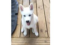 Dog Pomsky Dogs Puppies For Sale Gumtree