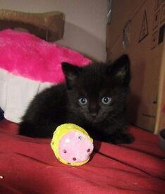 Black kitten (male)