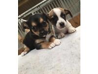 2 Jack Russel Cross Chihuahua Puppies For Sale