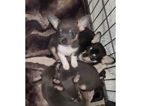 Last gorgeous blue tri colour chihuahua