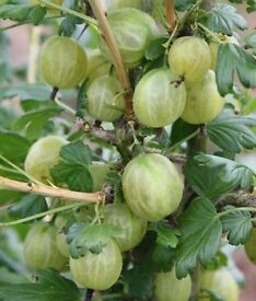 Gooseberry Bushes for Sale.