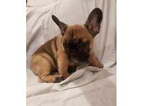 Lovely French Bulldog Puppy Boy