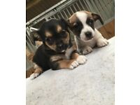 Jack Russel X Chihuahua Puppies