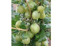 """Gooseberry """"Invicta"""" Bushes for Sale"""