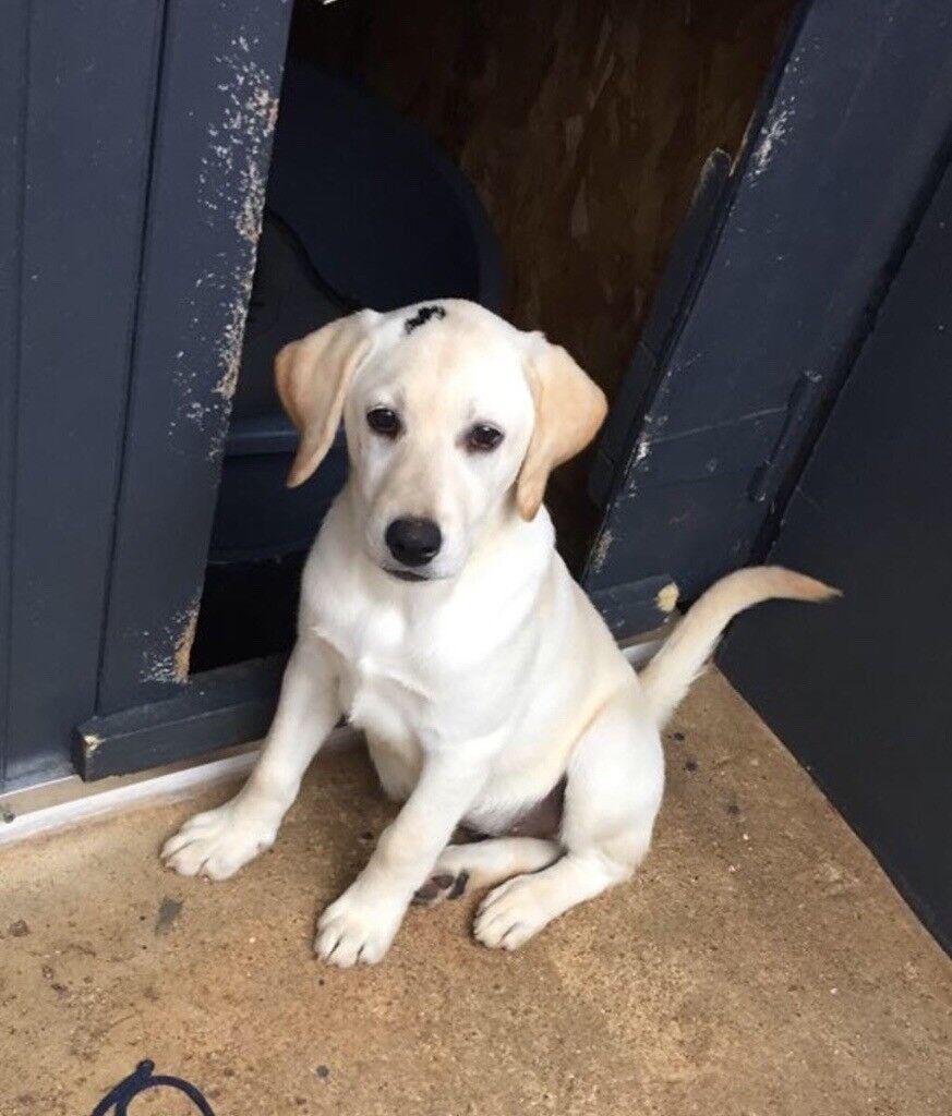 Labrador puppy | in Kempston, Bedfordshire | Gumtree