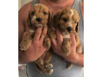 F1 cockerpoos for sale