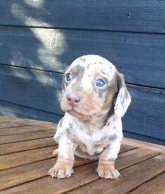 Miniture dachshund boy