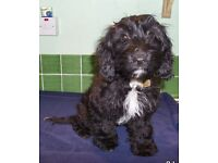COCKAPOO F1 PUPPY (Female) Black - 18 WEEKS OLD. Fully vaccinated, vet checked and chipped.