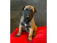 Belgian Malinois Puppies (pure blood Malinois)