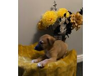 Beautiful, strong Lurcher puppies for sale