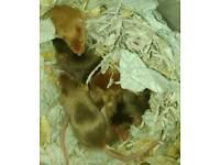 Tame Fancy Mice