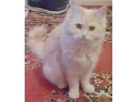 Two 6mth Ragdoll Persian cross boy kittens. Email may be blocked keep trying