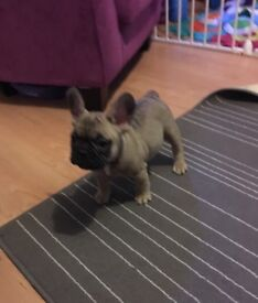 French bulldog puppies from KC reg parents